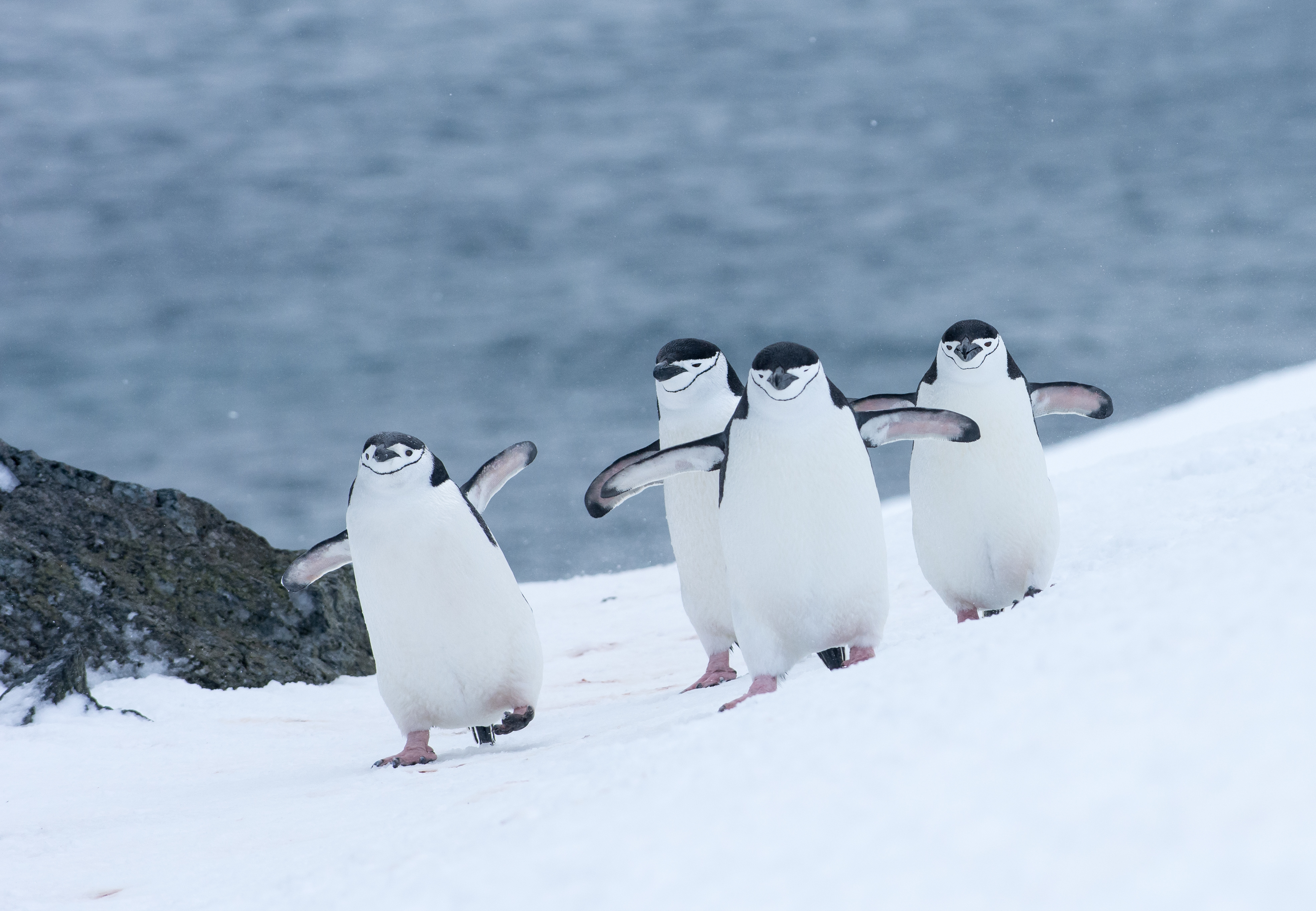 Four Chinstrap penguins walking in snow in Antarticta